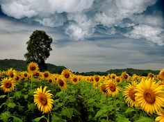 if i could i would love to live in a sunflower field even on cloudy days they still seem so happy and bright
