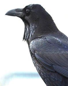 Crow #pocket_family_member #pocket_rural #pocket_birds #ipulledoverforthis #trb_creature_feature #trailblazers_rurex #trb_members1 #trb_rurex #trb_rural #your_best_birds #rsa_nature_birds #nuts_about_birds #planet_birds #planetbirds