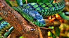Weather Underground provides local & long range Weather Forecast, weather reports, maps & tropical weather conditions for locations worldwide. Colorful Snakes, Rainforest Animals, Beautiful Snakes, Weather Underground, Reptiles And Amphibians, Albino, Creepy, Wildlife, Creatures