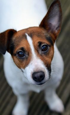 eyes-face-jack-russell