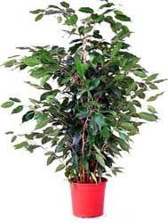 CUIDADOS Ficus benjamina, Ficus de hoja pequeña, Matapalo, Árbol benjamín.