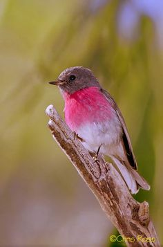 The Rose Robin (Petroica rosea) is a small passerine bird endemic to Australia.