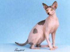 What are the Personality Types of the 12 Most Popular Cat Breeds?: Sphynx