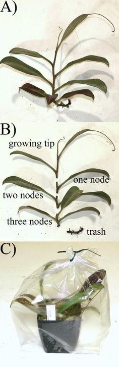 Propagation—Nepenthes Propagation via stem cuttings - International Carnivorous Plant Society