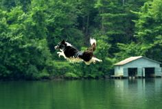 Flying Dog Animal Pics, Funny Animal Pictures, Funny Animals, Cute Animals, Flying Cat, Amphibians, Border Collie, Mans Best Friend, Wildlife Photography