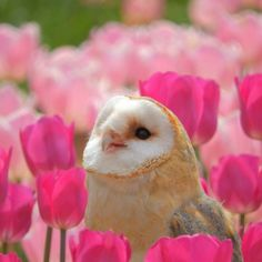 Barn owl in tulip fields ~ Sera Plateau Farm ~ Japan Baby Owls, Cute Baby Animals, Animals And Pets, Beautiful Owl, Animals Beautiful, Simply Beautiful, Owl Bird, Pet Birds, Owl Pictures