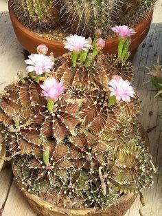 Amazing Unusual Plants To Grow In Your Garden Weird Plants, Big Plants, Unusual Plants, Rare Plants, Succulent Terrarium, Cacti And Succulents, Planting Succulents, Cactus Plants, Planting Flowers
