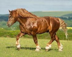 Suffolk Punch. photo: © Katarzyna Okrzesik - www.photo-equine.com || Gorgeous horse in sunny field