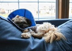 How to Keep Your Dog Calm After Surgery - Keeping a dog from playing, running, and jumping for a few weeks is no easy task. Here are some simple tips to keep your dog calm after surgery.