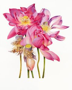 This elegant, graceful and divine Sacred Lotus portrait was a Finalist and a Highly Commended Award winner in the Waterhouse Natural Science Art Prize 2014 Illustration Botanique, Illustration Blume, Botanical Flowers, Botanical Prints, Art Floral, Watercolor Flowers, Watercolor Paintings, Lotus Painting, Botanical Drawings