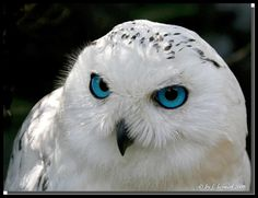 blue eyed snowy owl
