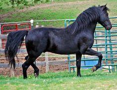 MTN TOP WHIPPOORWILL TANEK - Black Morgan horse stallion