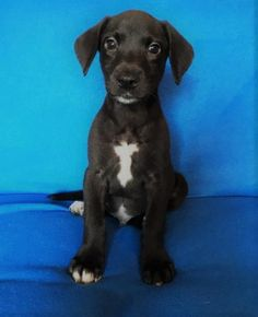 Name: panther. Breed: beagle/lab mix. Located: champaign, illinois. Age: 3 weeks old. Adoption fee: $300. Sex: male. He is a small dog waiting for the right family to adopt him!!!!!  Send application at http://www.DogsFromMars.net