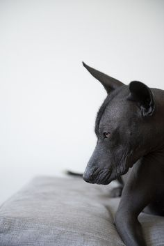 Fine Art Pet Photography, Los Angeles and San Francisco. Dog, cat and equine photography by award-winning photographer Alicia Rius. Private, commercial and stock photography. Animals And Pets, Baby Animals, Cute Animals, Mexican Hairless Dog, Dog Poses, Pet Photographer, Fauna, Dog Portraits, Dog Pictures