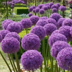 Breck's Gladiator Allium Bulbs (1-Pack)-70583 - The Home Depot Purple Flowers, Deer Resistant Annuals, Bulb Flowers, Perennials, Landscaping With Rocks, Allium, Flowers, Garden Planning, English Garden Design