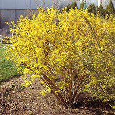 Dart's Gold Ninebark.  Zones 3-7.  Super low maintenance.  Great for space between trees in front yard.