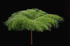 Sea Star Fern - Australia/New Zealand Foliages - Greens, Foliages and Branches - Flowers by category Shade Plants, Cool Plants, Air Plants, Garden Plants, Indoor Plants, Big Garden, Foliage Plants, Agaves, Flower Branch