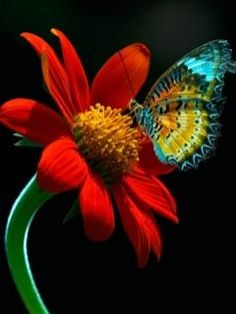 """Dream a little dream / color """"splash"""" butterfly Colors*can impress the lives* Papillon Butterfly, Butterfly Kisses, Butterfly Flowers, Blue Butterfly, Beautiful Butterflies, Red Flowers, Beautiful Flowers, Beautiful Pictures, Flying Flowers"""