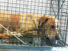 URGENT NEEDS OUT 5/17/14 FOUNDDOG 5-11-14 #SANBERNARDINO #CA ID# A465408 KENNEL 19 Female Tan/White #CHOWCHOW #LabradorRetriever Mix 8 Years Old Collar 909-384-1304 SAVE SBC SHELTER PUPS