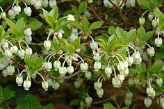 ekianthus perulatus