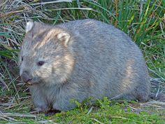 Wombat Vombatus ursinus   by Simon Grove (TMAG)