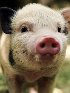 I don't think I've ever seen a more adorable piggy snout.
