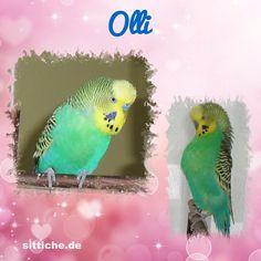 Wie findest du diese Wellensittich-Collage? Parrot, Collage, Fish, Pets, Animals, Budgies, Parrot Bird, Collages, Animales
