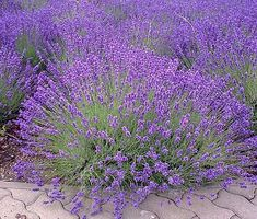 English Lavender seeds can be started indoors weeks before last frost. Lavandula Angustifolia is ornamental flowering herb that features sweetly fragrant, evergreen foliage and produces terminal spikes of tiny purple flowers. Insect Repellent Plants, Mosquito Repelling Plants, Lavender Seeds, Lavender Flowers, Purple Flowers, Landscaping Supplies, Landscaping Plants, Plant Labels, Landscape Services