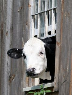 """Hi There. """"A Cow Peers out of a Barn Window in Sutton, N.H. Photographic Print"""""""