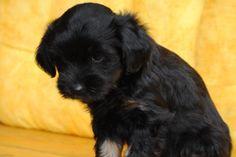 Tibet Terrier Welpen Baghira