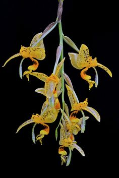 Orchid: Stanhopea embreei - Flickr - Photo Sharing!