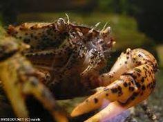 Výsledek obrázku pro krab