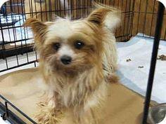 Wainscott, NY - Yorkie, Yorkshire Terrier. Meet REMMIE, a dog for adoption. http://www.adoptapet.com/pet/14692007-wainscott-new-york-yorkie-yorkshire-terrier