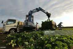 Farmers use an excavator to load freshly harvested Daikon radishes onto a truck from a trailer in a field in Tatsuno, Hyogo Prefecture, Japan, on Wednesday, Nov. 2, 2016. Unusually poor weather in western Japan and a rise in food prices, particularly for vegetables, in September suggest risk of a downside surprise in Japan's household spending. Photographer: Buddhika Weerasinghe/Bloomberg via Getty Images Nov 2, September, Japanese Farmer, Hyogo, Farmers, Wednesday, Westerns, Harvest, Household
