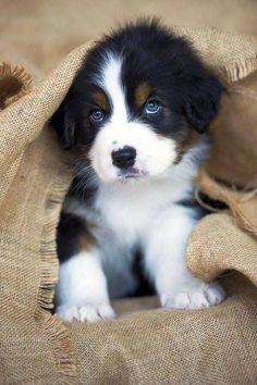 Puppies That Will Give You Feels Top 10 Healthiest Dog Breeds // In need of a detox? off using our discount code at.auTop 10 Healthiest Dog Breeds // In need of a detox? off using our discount code at. Cute Baby Animals, Animals And Pets, Funny Animals, Funny Dogs, Wild Animals, Cute Baby Dogs, Cute Small Dogs, Small Small, Baby Cats