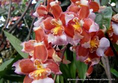 New York Botanical Gardens - Orchids of every imaginable colour