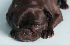 mops štěně - Hledat Googlem