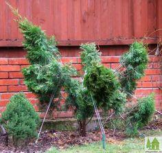 Все эти действия проводились осенью. В таком виде туя была оставлена до весны. Read more: http://www.ufagarden.ru/dekorativni-sad/nivaki-iz-tui.html#ixzz3vgELiaaR