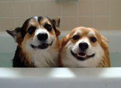 corgi bath time