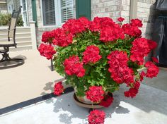 How to Save and Store Geraniums - I have an easy way to save your geraniums from year to year. In mid September to early October cut back geranium and place co…