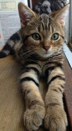 tabby cat Caring For Cat, Mancoon Kitten, - Kitten Tips, Siamese Cats Facts. Pretty Cats, Beautiful Cats, Animals Beautiful, Beautiful Pictures, Amazing Photos, Cute Cats And Kittens, Kittens Cutest, Tabby Kittens, Siamese Cats