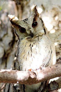 Indian Scops Owl (Otus bakkamoena) - by Vijayakumar Beautiful Owl, Animals Beautiful, Cute Animals, Owl Photos, Owl Pictures, Owl Bird, Pet Birds, Photo Animaliere, Tier Fotos