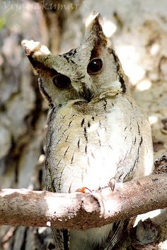 Indian Scops Owl (Otus bakkamoena).