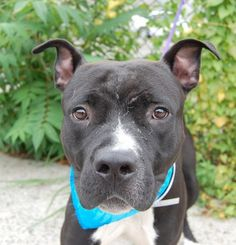 SAFE 7-27-2015 by Rebound Hounds --- TO BE DESTROYED 7/21/2015 Brooklyn Center MAXWELL – A1043585  MALE, BLACK / WHITE, AMER BULLDOG MIX, 10 mos STRAY – STRAY WAIT, HOLD FOR ID Reason STRAY Intake condition EXAM REQ Intake Date 07/11/2015