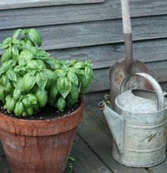 Basil! I have some now growing on back porch!! Love fresh Basil, it's the best!!