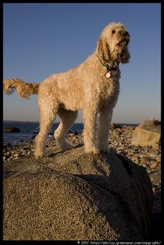 Photograph by Philip Greenspun: goldendoodle-7