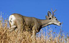 Coues Deer Whitetail Deer Hunting, Big Game Hunting, Elk, American, Animals, Moose, Animales, Animaux, Animal