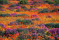 Namaqualand, Namibia/South Africa Namaqualand is an arid region of Namibia and South Africa, extending along the west coast over 600 miles. Namaqualand is popular with both local and international. South African Flowers, Frans Lanting, Spring Wildflowers, Spring Flowers, Namibia, Le Cap, Cape Town South Africa, Destinations, Nature Reserve
