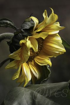sunflower | by @ires