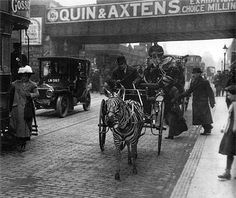 prev pinner note: Zebra hackney cab, Brixton Road, Brixton, c. 1915. (One can only imagine how they broke the zebra, not the easiest of equines to train)